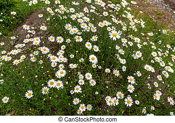 Glade of white daisies in the grass on Altai, Russia