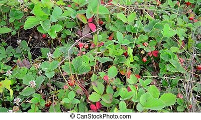 Glade of wild strawberry with ripe berries