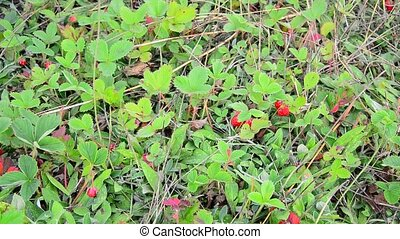 Glade of wild strawberry with ripe berries - Glade of wild...
