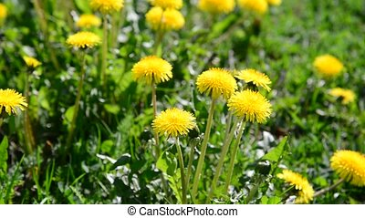 Glade of yellow dandelions in wind - Glade of yellow...