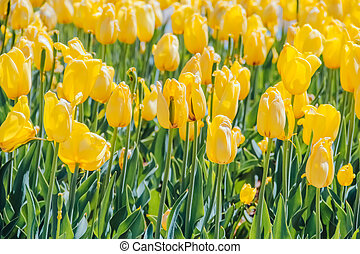 Glade of yellow tulips. Natural background for your projects.