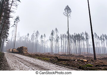 Glade or forest clearing with solitary larch and pine trees at bark beetle calamity area, spruce timber crisis, foggy day