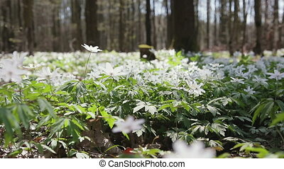 Glade with snowdrops in the spring sunny forest. Flowers swaying in the wind