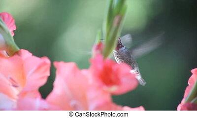 gladiola flowers with hummingbird