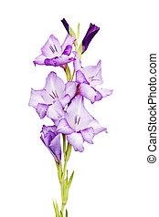 Purple gladiola isolated on a white background