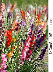 gladiolen, bloemen, in, heldere kleuren