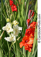 Scarlet and white gladioli in a garden
