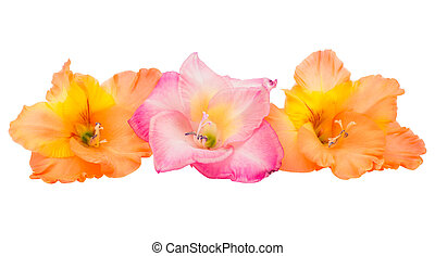 gladiolus flower isolated