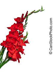Gladiolus flower isolated on white background