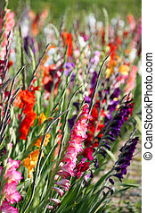 gladiolus flowers in bright colors - flowering gladioli in a...
