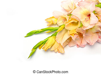 gladiolus flowers pink on white background with