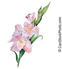 gladiolus flowers watercolor - Watercolor image of pink...