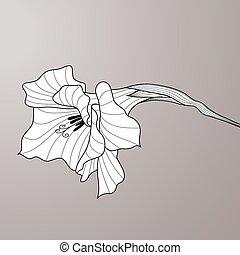 gladiolus., grafisk kunst, blomst, kontur
