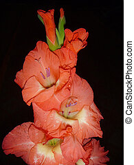 Gladiolus on black background