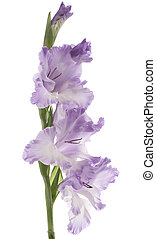 Studio Shot of Blue and White Colored Gladiolus Isolated on White Background. Large Depth of Field (DOF). Macro.