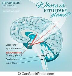 glande, pituitaire, vecteur