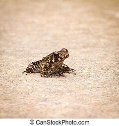 Glandular Frog - Glandular frog on the ground.