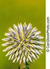glandular globe-thistle blooming