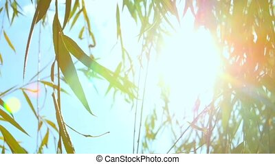 Glare of the sun in a willow.