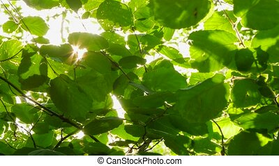 glare of the sun in the walnut leaves
