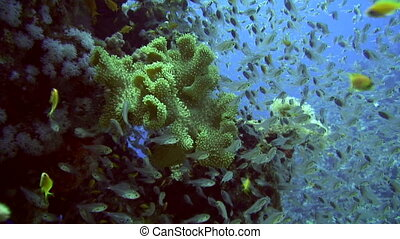 Glass fish - Sea life - Numerous glass fish surround a coral...