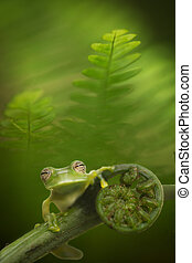 Glass frog in Amazon rain forest