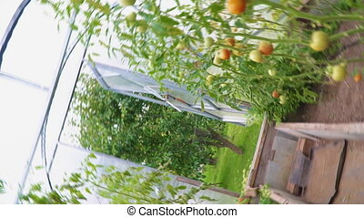 Glass greenhouse with tomatoes. Camera is rotating.