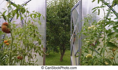 Glass greenhouse with tomatoes. Camera moves backward.