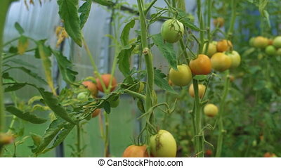 Glass greenhouse with tomatoes. Camera moves up.
