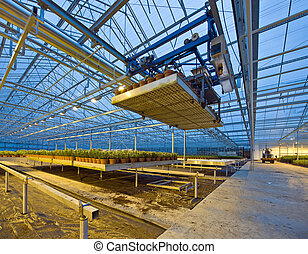 A robotic pick and place unit in a tungsten lit glasshouse, arranging trays of lilies at dusk