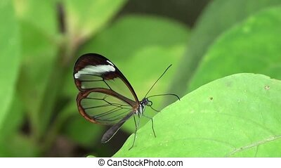 Glasswing Butterfly - Slow Motion
