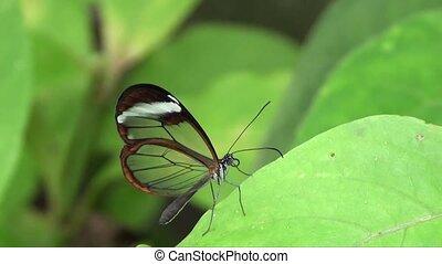 Glasswing Butterfly - Slow Motion