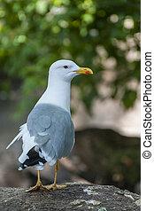 Glaucous Gull (Larus hyperboreus) - Glaucous Gull ( Larus...