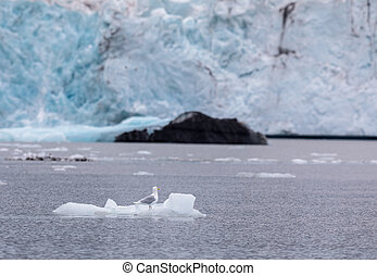 Glaucous gull, Larus hyperboreus, sitting on a small iceberg in front of a glacier at Svalbard, Norway