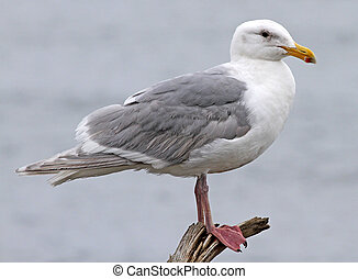 Glaucous-winged Gull (Larus glaucescens) at Ocean Shores, WA