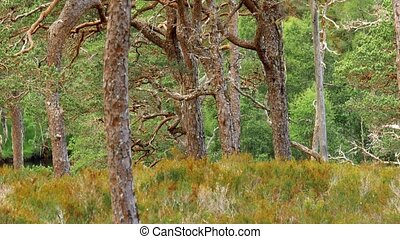 Glen Affric Forest, Scotland - Graded Version - Graded and...
