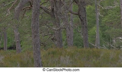 Glen Affric Forest, Scotland - Ungraded Version - Ungraded...