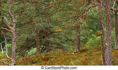 glen, affric, wald, schottland, -, eingestuft, version