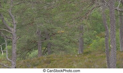 glen, affric, wald, schottland, -, ungraded, version