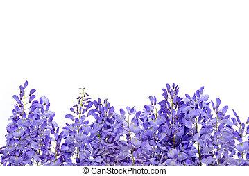 glicina, flores, diseño floral, element.
