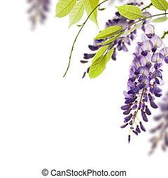 glicina, flores, hojas verdes, frontera, para, un, ángulo, de, página, encima, un, blanco, fondo., elemento decorativo