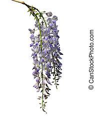 glicina, (wisteria, sinensis), chino