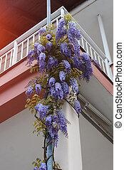 Glicinia flower on facade of the balcony.
