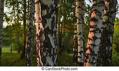 glissements, troncs, bouleau, blanc, passé, arbres, lit, lumière soleil, appareil photo