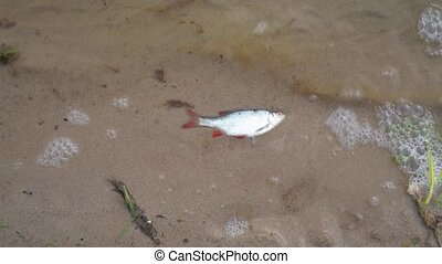Global water pollution. Dead roach fish on polluted water lake beach. Gimbal stabilizer motion movement top shot