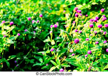 Globe amaranth on the green garden background