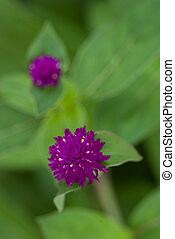 Globe amaranth or Gomphrena globosa flower in the garden