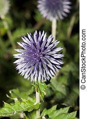 globe, fleur, chardon, (echinops, sp.)