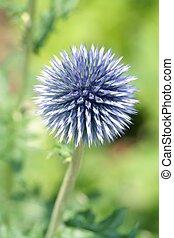 Globe Thistle - Garden Plant Globe Thistle
