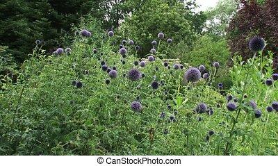 Globe Thistles (echinops ritro) honeybees buzzing - wide shot + pan